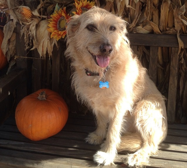 Dog at pumpkin patch
