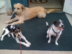 Eddie, Henri, & Becket waiting on custom diamond collars.