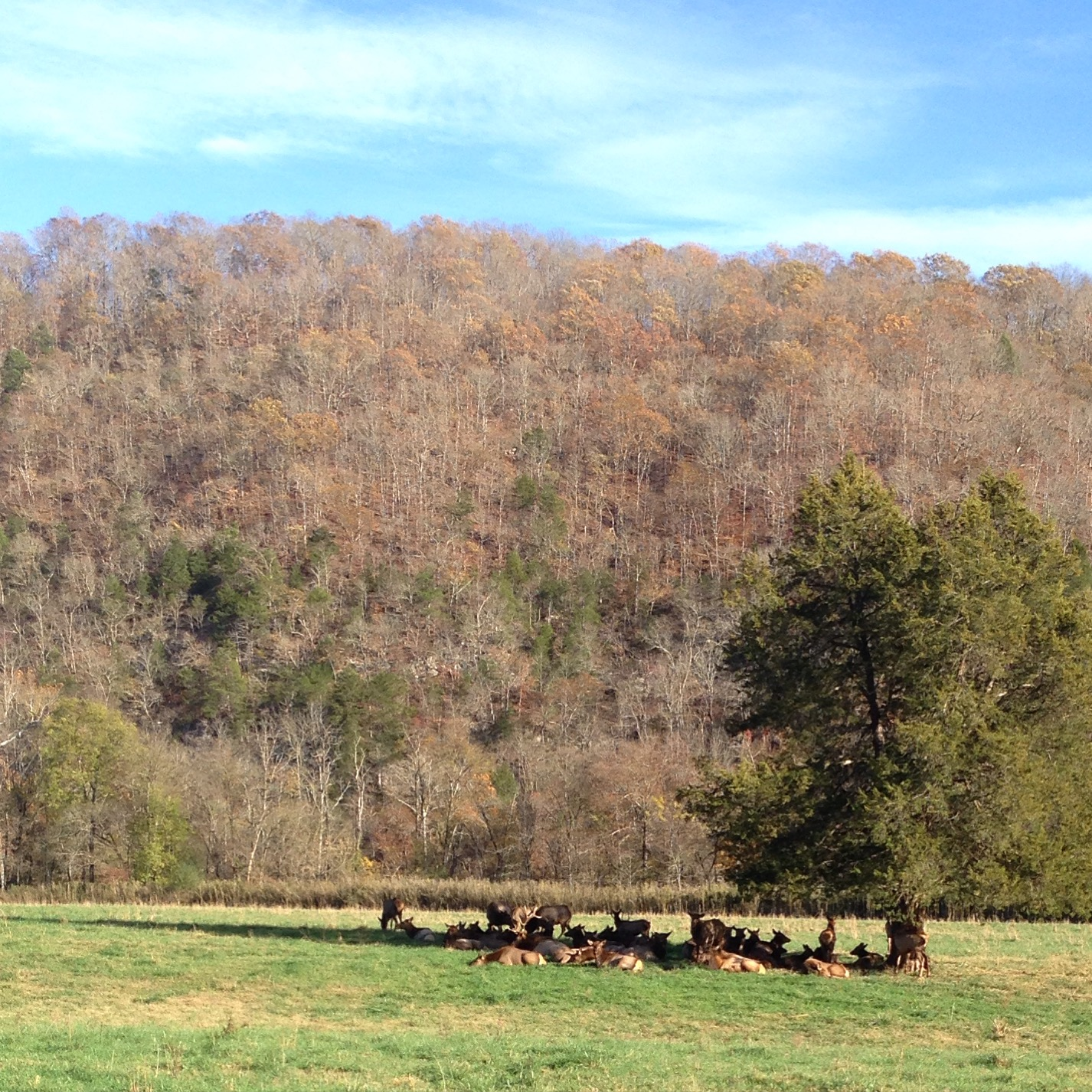 Wild elk in Arkansas
